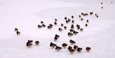 Canards sur un étang gelé du parc du château de La Hulpe