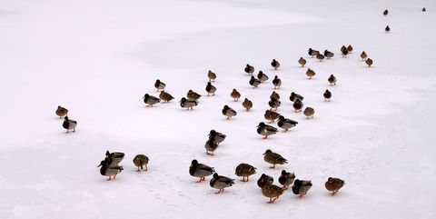Ducks on a frozen pond in the park of the castle of La Hulpe