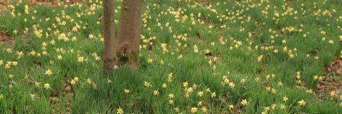 A sea of daffodils at the castle of La Hulpe