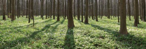 Le bois de Hal juste avant la floraison de sa célèbre mer de jacinthes