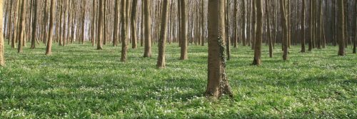 The Halle wood just before its famous sea of bluebells is in bloom