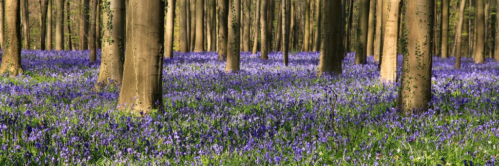 The sea of bluebells again!