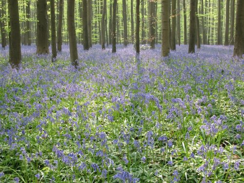 The famous sea of bluebells in the Halle wood, April 2009