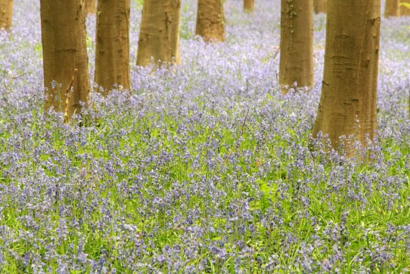 Bluebells in the Halle wood