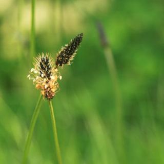 Une variété de plantain (Plantago Major ?) dans le Parc Solvay (La Hulpe)