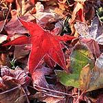 Freshly frozen Liquidambar leaves