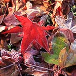 Freshly frozen Liquidambar leaves