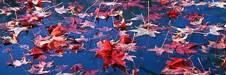 Feuilles de liquidambar étalées sur les eaux tranquilles de l'etang principal du parc