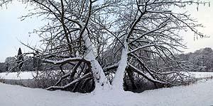 Voilà longtemps que je pensais prendre cette photographie et je me suis enfin décidé à essayer. Une colline derrière moi empêche de prendre du recul pour prendre une photo qui incluerait l'arbre entier. Cette image est constituée de 11 photographies combinées.
