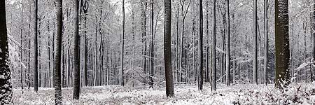 Même les grands hêtres de la forêt de Soignes sont transformés par la neige. C'est tellement le cas que je m'y suis perdu !