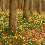 A field of daffodils in the woods of the Solvay Domain, in La Hulpe