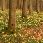 Un champ de jonquilles dans les bois du domaine Solvay, à La Hulpe