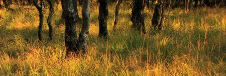 Premiers rayons lumineux et arbres dans la Fagne de Malchamp, près de Spa, Hautes Fagnes