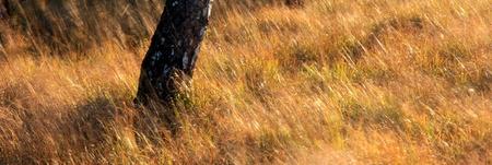 Herbes et arbre dans la Fagne de Malchamp, près de Spa, Hautes Fagnes