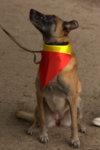 Dog wearing Belgian colours