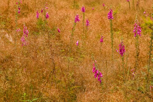 Foxgloves and sea of grass (not far from Bra, Belgium)