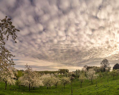 Soon rain for the apple trees