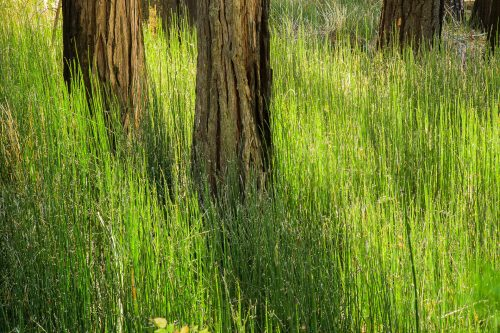 Grasses and pines (Yosemite Valley)