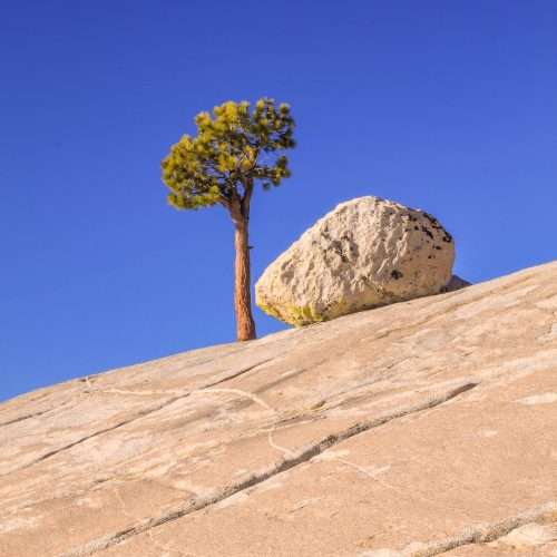 The surviving pine at Olmsted Point (Yosemite National Park)