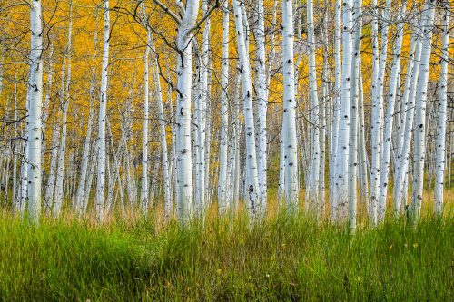 Grass and aspens (Aspen, Colorado)