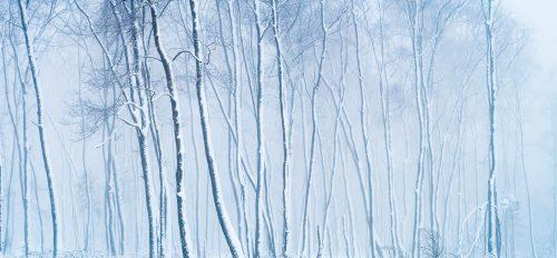 Arbres enneigés dans la brume (Ternell, Belgique)