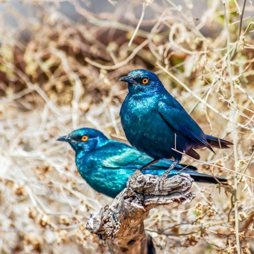 Greater blue-eared starling (South Africa)