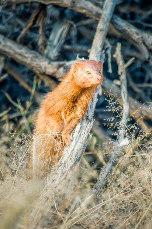 Petit curieux (Afrique du Sud)