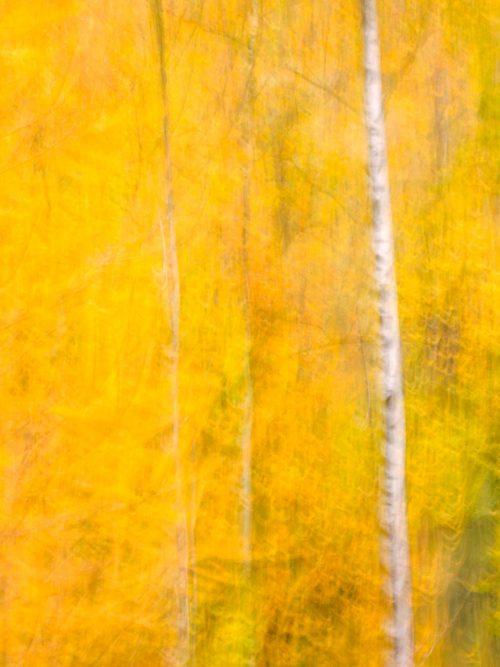 Birch and autumn foliage - 1
