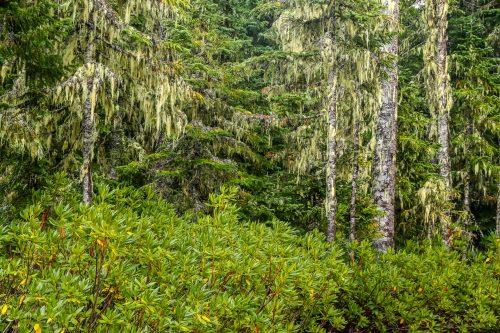 Rhododendrons et lichens (Trillium Lake, Oregon)