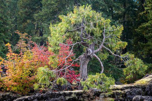 Le vieux sage (Oregon)