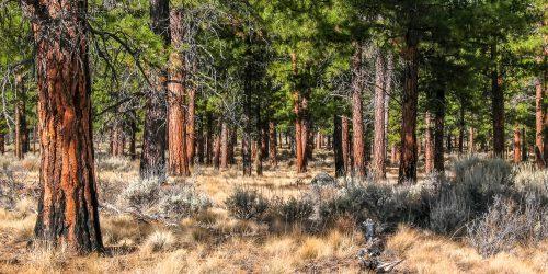 Forêt ancestrale (Oregon oriental)