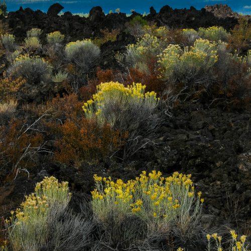 Contraste des fleurs et de la roche volcanique (Newberry Volcanic National Monument, Oregon)