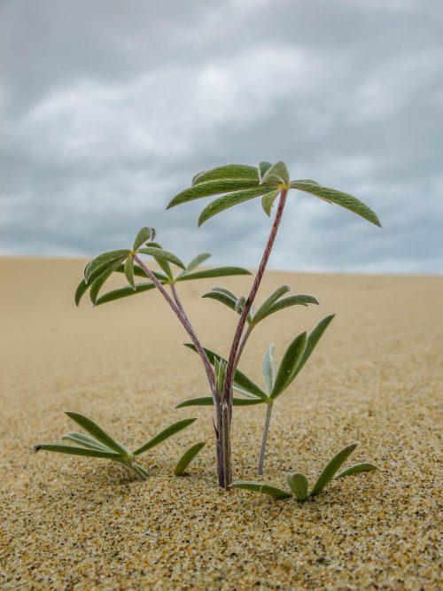 Le pionnier dans une mer de sable