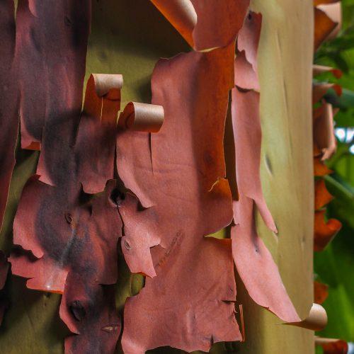 Ecorce d'arbousier - Arbutus menziesii (Côte de l'Oregon)