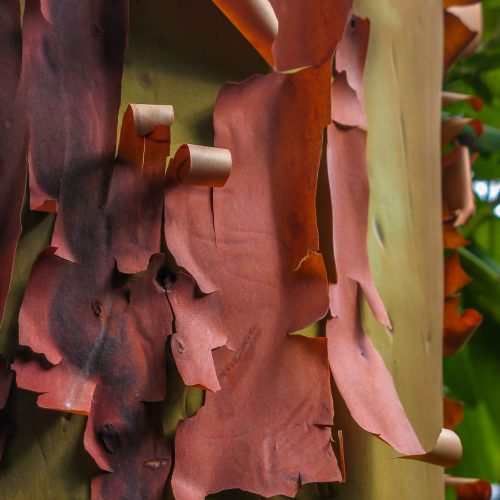 Pacific madrone - Arbutus menziesii (Oregon Coast)