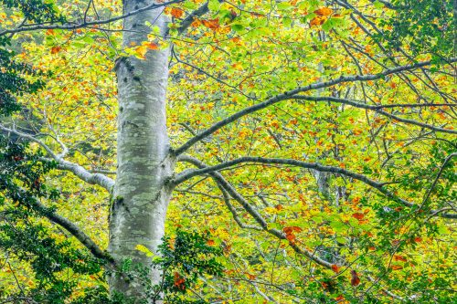White beech in early autumn