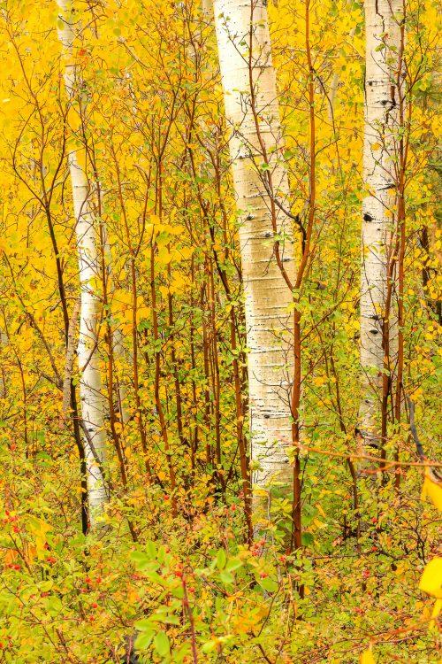 Aspens perdus dans les sous-bois (route US 12, Utah)