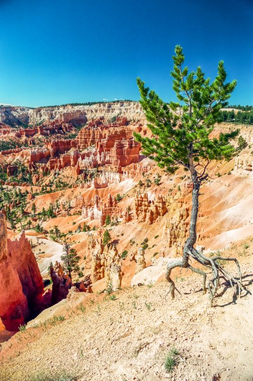 Risking its life (Bryce Canyon)