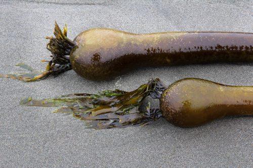 Algues géantes à Second Beach