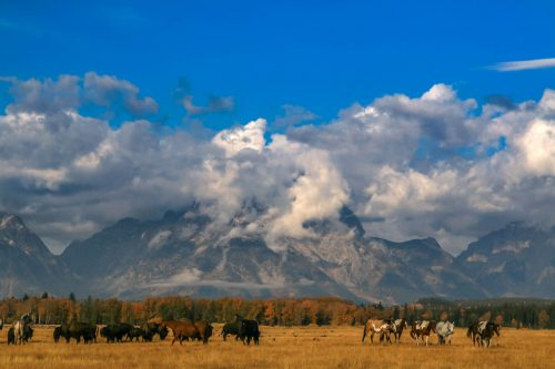 Bisons and horses at the foot of Mount Moran