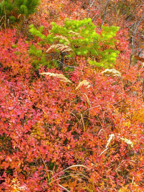 Autumn carpet (Grand Tetons National Park, Wyoming)