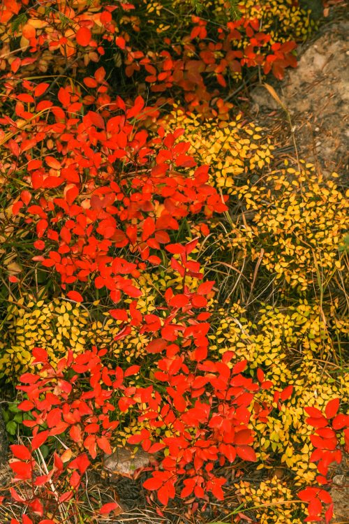 Red and yellow (Grand Tetons National Park, Wyoming)