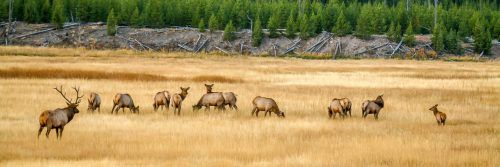 The king and its court (Yellowstone National Park)